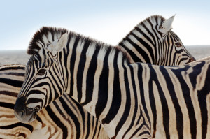 closeup of a beautiful zebra